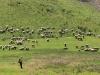 Owce na zboczu Jaworzyny