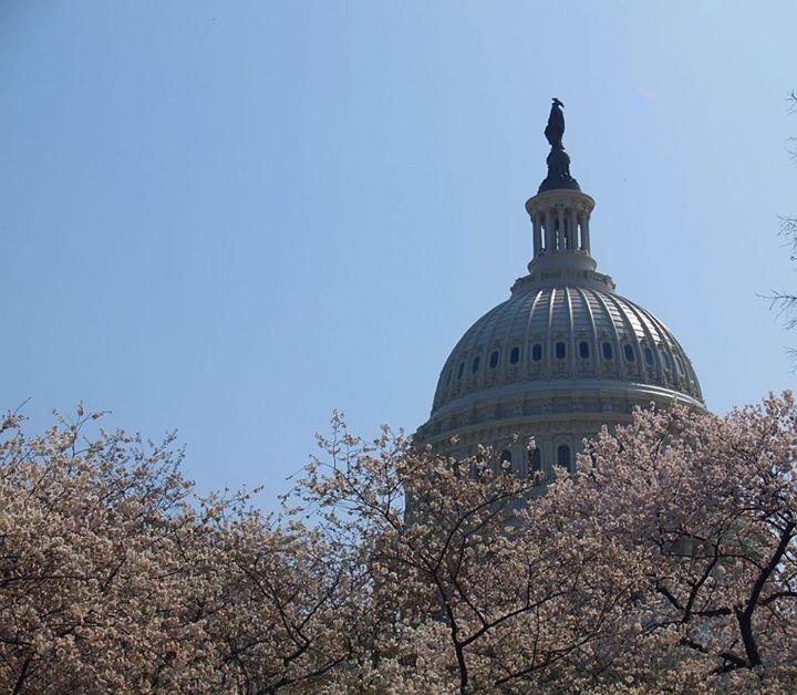 Waszyngton – Kapitol wśród kwitnących wiśni