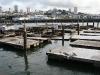 San Francisco - foki wylegujące się na słońcu